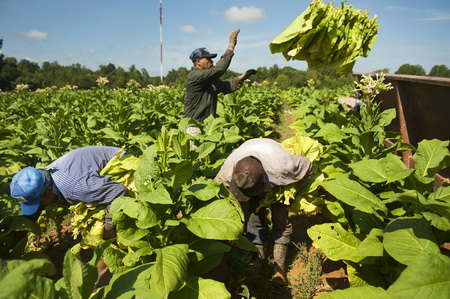 General Views Of Tobacco Harvest At Eaton Farms